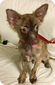 Phoenix, AZ - Yorkie, Yorkshire Terrier/Chihuahua Mix. Meet Cayenne Pepper a Puppy for Adoption.