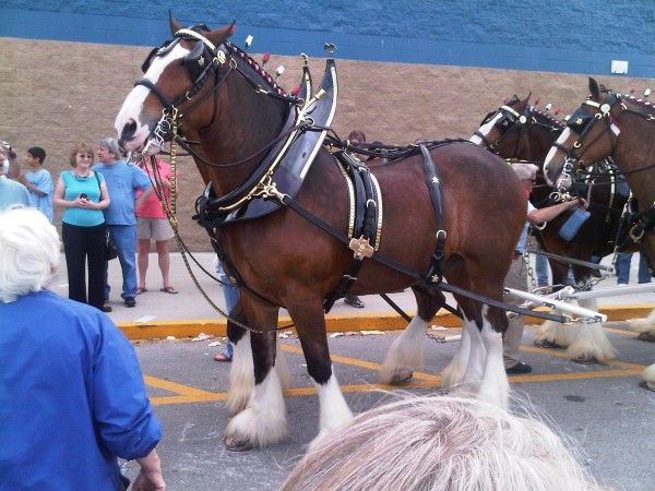 """The Budweiser Clydesdales made an appearance Wednesday at the Southport Wal-mart. R.A.Jeffreys Distributing Company of Wilmington and the Southport-Oak  Island Chamber of Commerce sponsored the event. The public was invited to stop by and get their pictures with the """"gentle giants."""" Photo courtesy of Oak Island Public Information Officer Kyle Thomas."""