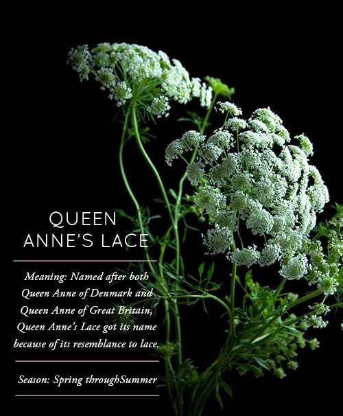 Flower Glossary: Queen Anne�s Lace