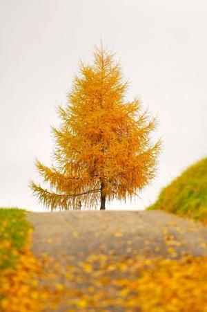 17 best cottonwood trees images on pinterest stems carving and golden tree i tjink its a tamarack tree fandeluxe Choice Image