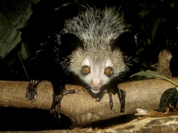 The aye-aye is a lemur, a strepsirrhine primate native to Madagascar that combines rodent-like teeth and a special thin middle finger to fill the same ecological niche as a woodpecker.