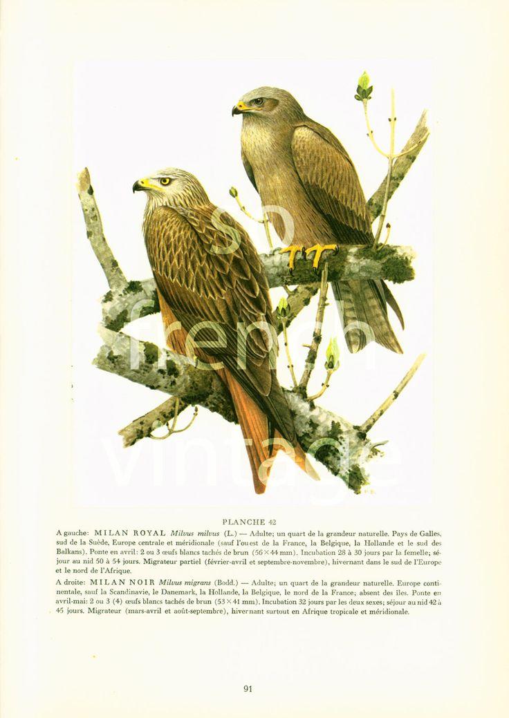 1961 Milan noir et milan royal illustration oiseau de proie Rapace ornithologie Decor mural Nature de la boutique sofrenchvintage sur Etsy