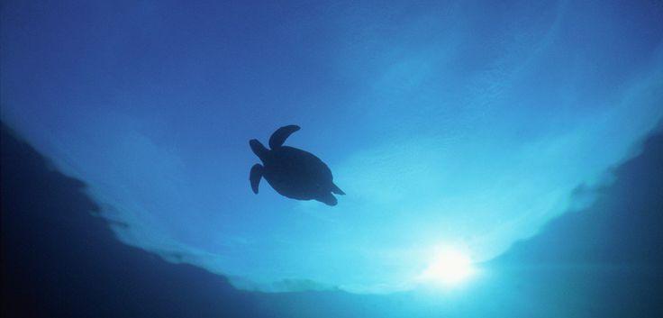 Sea Turtles Won't Stay Where You Put Them @hakaimagazine http://www.hakaimagazine.com/article-short/sea-turtles-wont-stay-where-you-put-them … @jcu @enviro_sci  3 retweets 4 likes