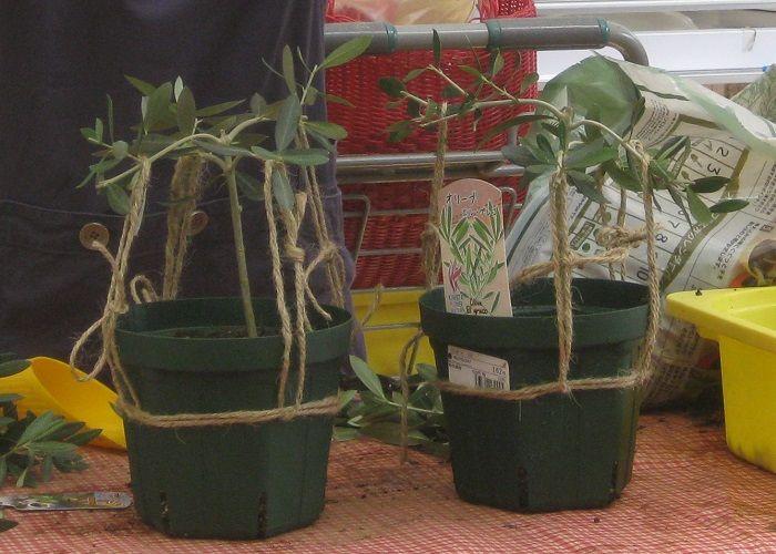 岡井路子先生によるオリーブの上手な育て方 樹形づくり 剪定 緑枝挿し 植物栽培 オリーブの木 剪定