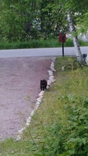 Rosviks cat