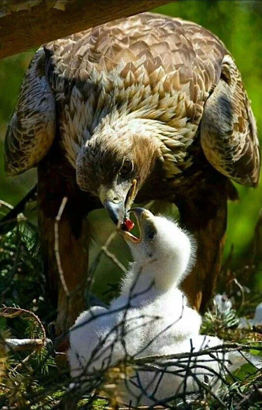 Golden Eagle mom and chick