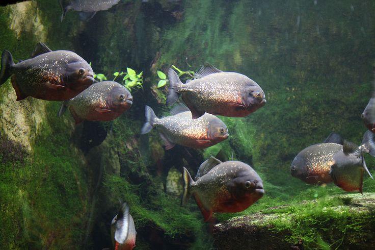 pygocentrus nattereri en groupe sa maintenance en aquarium demande 100 Litres d'eau par adulte avec suffisament de cachette et un eclairage tamisé l'eau aura un Ph de 6 a 7;0 chauffe a 24