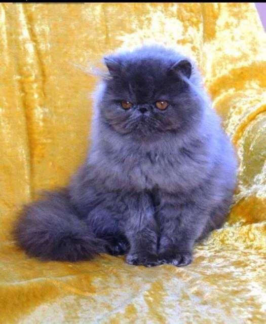 Gatto persiano cerca fidanzatina