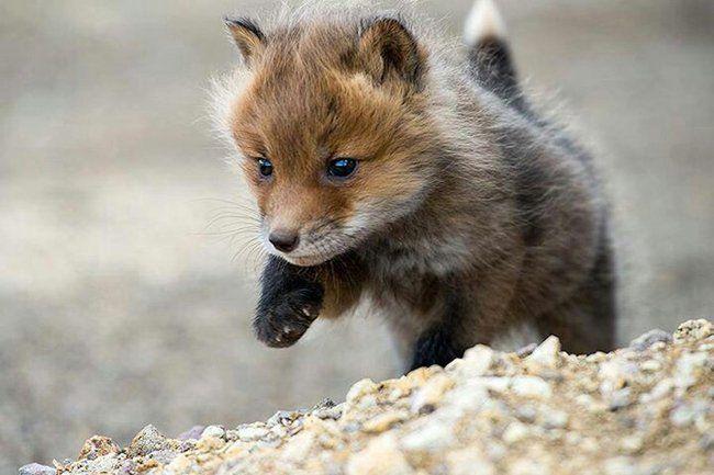 hermoso zorro bebe