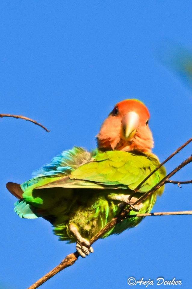 17 Best Images About Lovebirds On Pinterest