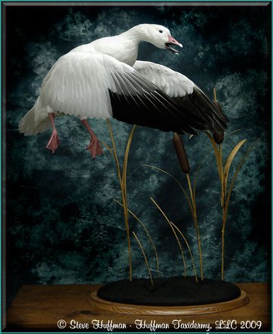 Snow Goose Taxidermy Mount - Huffman