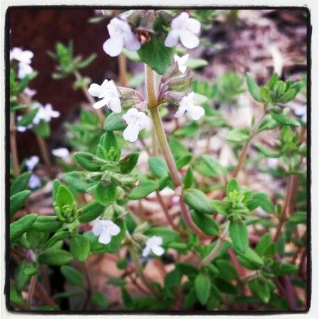 Orange Thyme, companion to our vegetables out the front