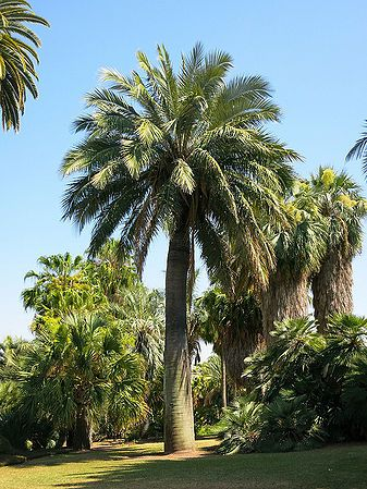 Jubaea chilensis - Palmpedia - Palm Grower's Guide