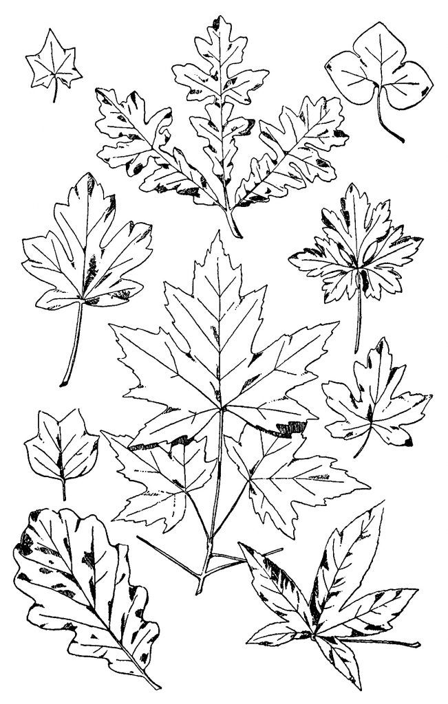 Free Vintage Clip Art Black And White Leaves