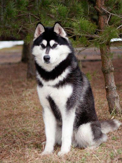 #Husky #dog