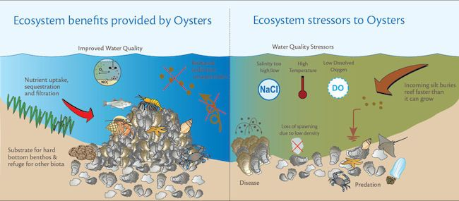 A new water conservation project in New York City deploys 50,000 oysters and 5,000 recycled toilets to help the Billion Oyster Project reach its 2030 goal.