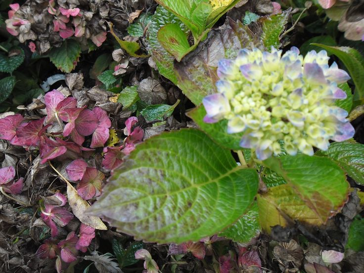 hydrangea jong and old
