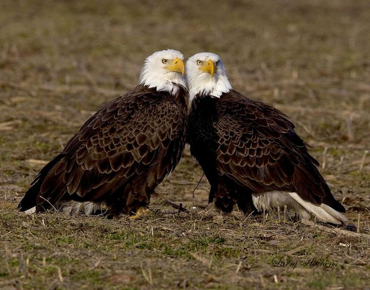 Bald Eagles by larry.hitchens