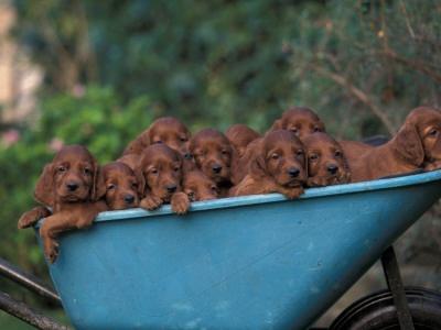 Irish Red Setter pups.