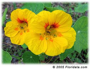 Plant this annual in spring in zones 4-8 and in winter in zones 9-11. Garden nasturtium does best in light, sandy soils. Too much nitrogen fertilizer will produce an abundance of foliage and few flowers.  Light: Does well in full sun or light shade. Nasturtiums appreciate a little midday shade in summer.  Moisture: Nasturtiums are fairly tolerant of drought, but do best with regular watering.