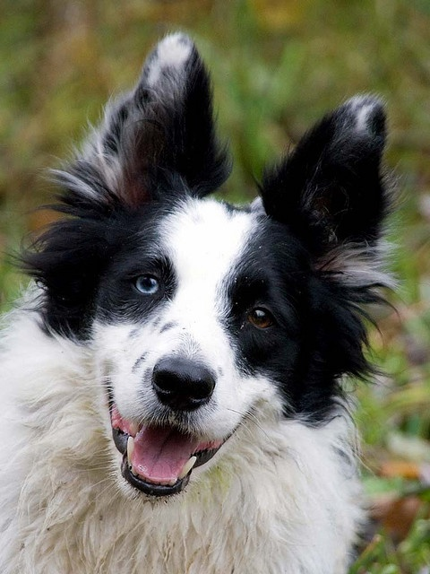 Border Collie Fellow by DutchImage via Flickr