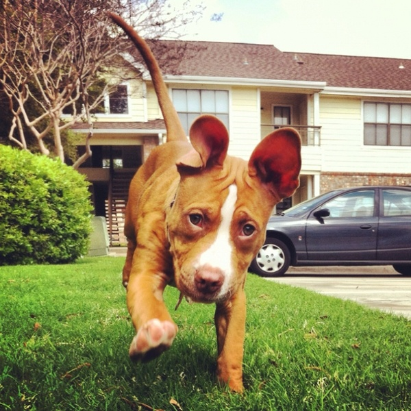 My Pitbull puppy, Miss Penny! kelseymjonesey