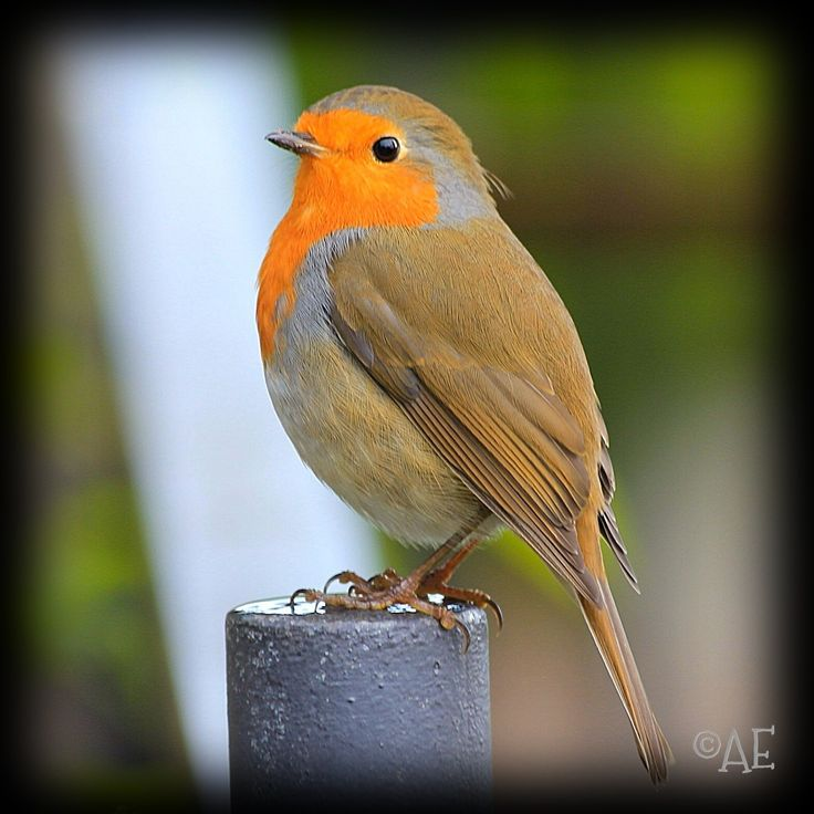 Red-Breasted Robin by AngelEowyn