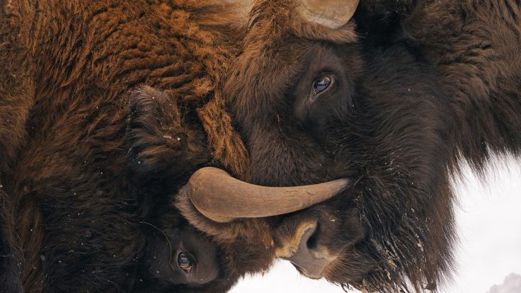 The largest land animal in Europe was declared extinct in 1927, but the European bison is now being reintroduced to the wild from domestic herds.