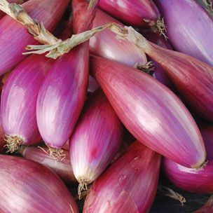 """LONG RED FLORENCE: Traditional fresh eating variety from the Mediterranean.  Torpedo shaped bulbs, 4-6"""" long.  Excellent mild flavor, for fresh eating or short term storage.  Excellent when grilled.  ± 5,000 seeds per ounce.  Long day, 90 days from transplant."""
