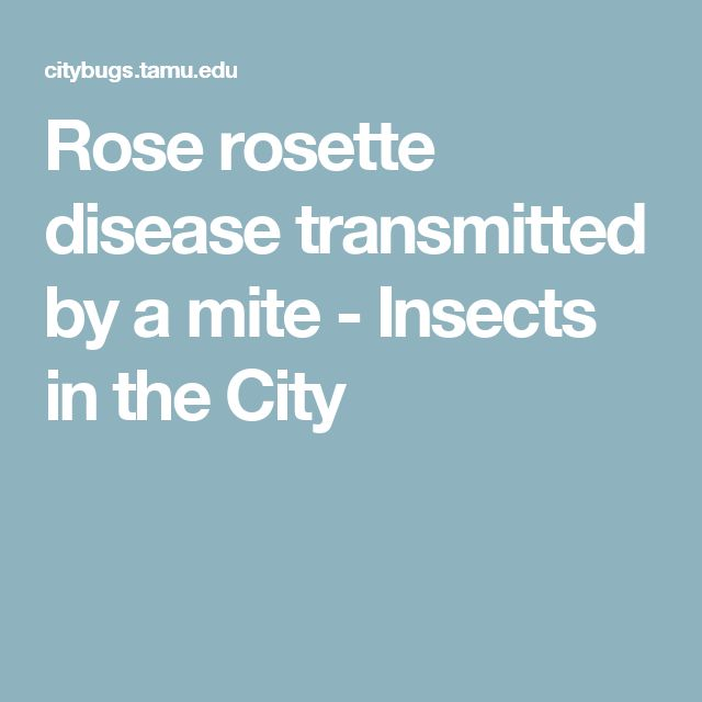 Rose rosette disease transmitted by a mite - Insects in the City