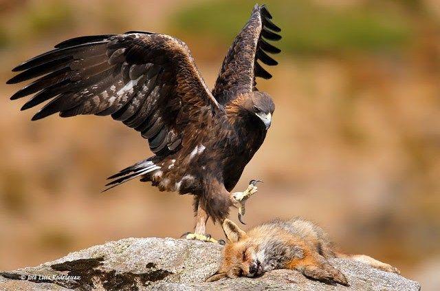 """Aguila Real  El águila real o águila caudal(Aquila chrysaetos, del latín: aquila, """"águila"""" y del griego: χρυσός, """"dorado"""" y ἀετός, """"águila"""" ) es una especie deave accipitriforme de la familia Accipitridae.Es una de las aves de presa más conocidas y ampliamente distribuidas de la Tierra. Su área de distribución abarca gran parte de América del Norte, Europa y asia y el norte de africa. Mantiene poblaciones sedentarias incluso en varias islas como Gran Bretaña, las del Mediterráneo…"""