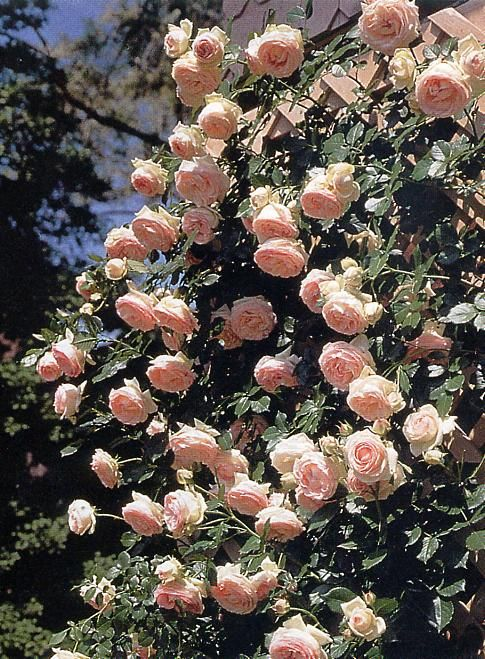 the climbing rose justly named eden garden pinterest. Black Bedroom Furniture Sets. Home Design Ideas