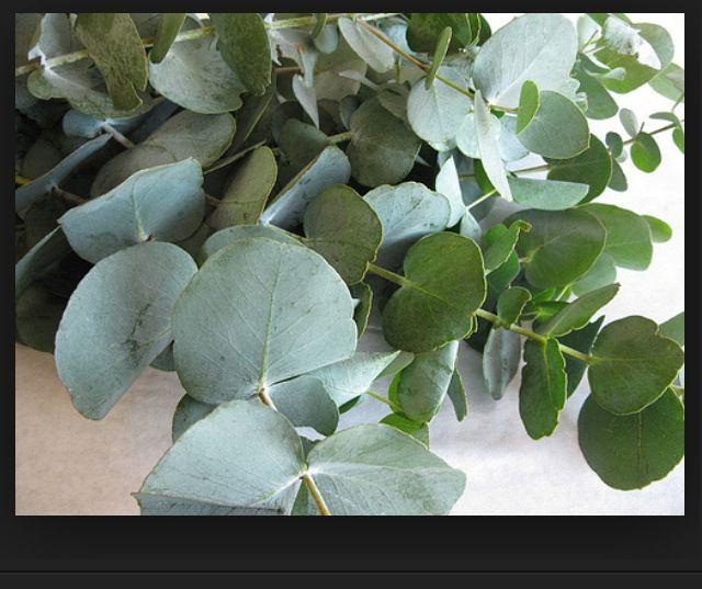 EaucaLyptus blader