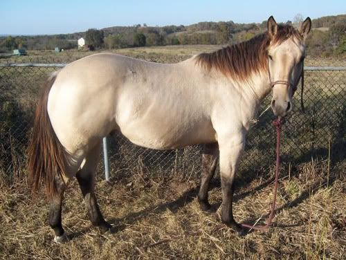 1000+ Images About Buckskin, Claybank, And Amber Champagne