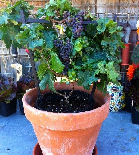 tanaman-buah-anggur-dalam-pot