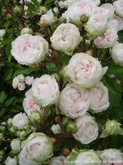 mlle-juliet-de-Bricard cabbage rose