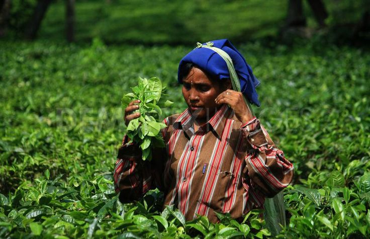 Assam Tea Plantation, India
