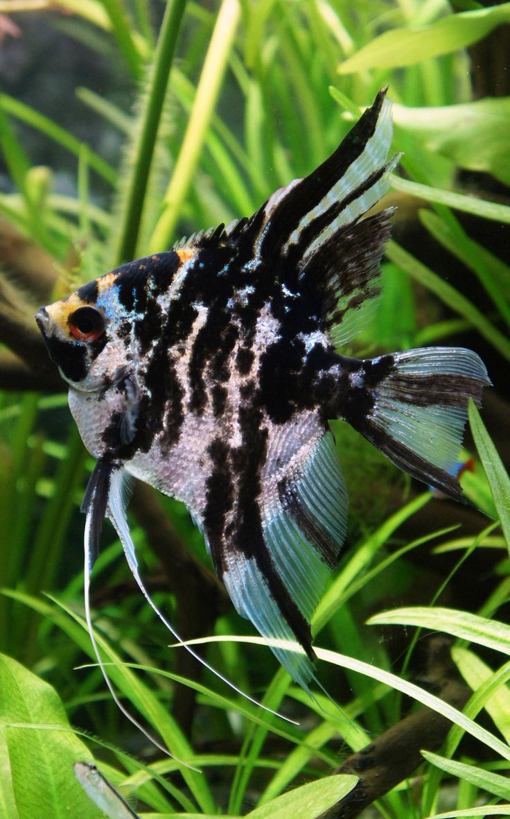 Marble Scalare (angelfish) | Acuarios | Pinterest