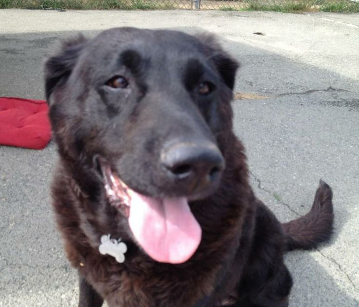 Brooke is an 8 year old black Labrador retriever. She ...