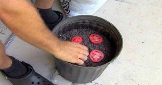 Überreife Tomaten in Scheiben als Samen einpflanzen. Erde drüber,gießen-nach 2 Wochen die kräftigsten Pflanzen umtopfen.