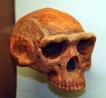 Cráneo homo erectus