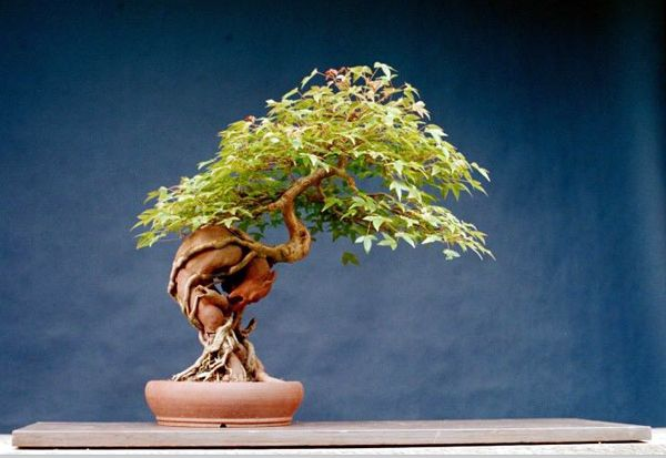 trident maple bonsai | The Art of Bonsai Project - Feature Gallery: Nursery Stock Bonsai