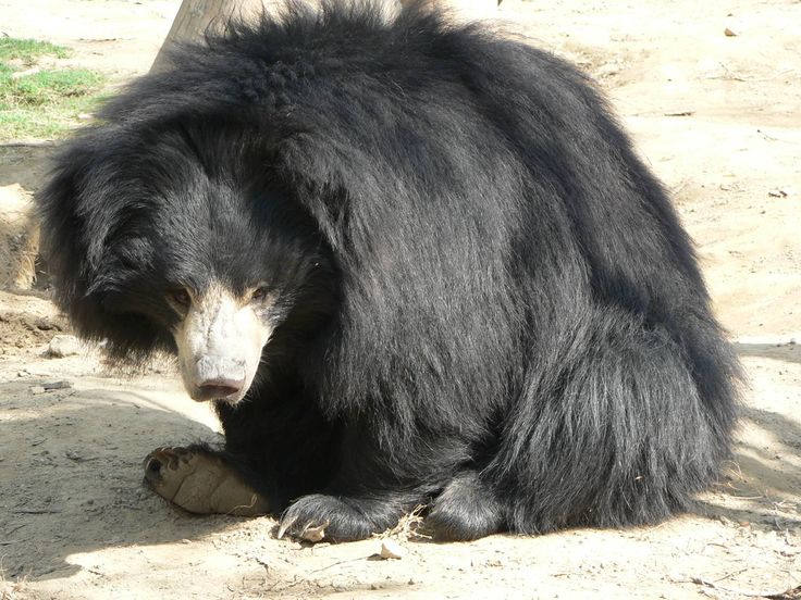 Sloth bears feed predominantly on termites and ants and employ a well-evolved method to dig them out. Their long, curved claws are used for penetrating nest mounds, which can be rock-hard. Once they've opened a hole, they blow away excess dirt then noisily suck out the insects through a gap in their front teeth. To do so, they close their nostrils and use their lips like a vacuum nozzle.
