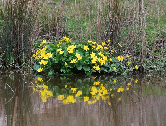 Stunning marsh marigolds in low-lying, swampy areas all along the LE & N rail trail between Brantford and Port Dover. May 5, 2013