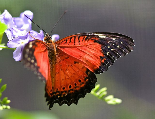 Red Lacewing Butterfly Photo