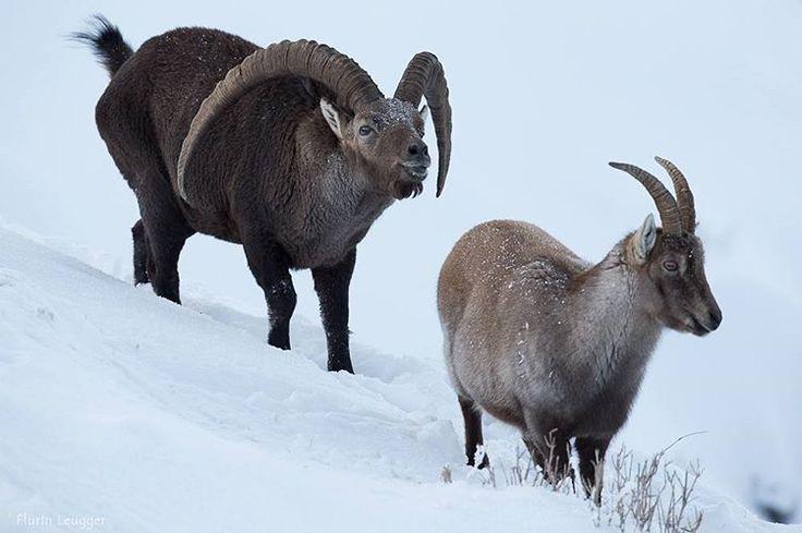 Eines der besten Bilder von  Steinwild was ich je gesehen habe. Schönen Samstag 🌿🌿 📸: Florian Luegger . . #steinbock #ibex #alpensteinbock  #capra #capraslam #goat alpineibex #jagd #bergjagd #schnee #snow #hunt #caza #bowhunter #sitka #pokerhunt #mountains #berge #alpen