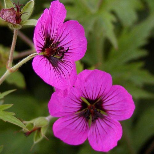 GERANIUM psilostemon (Bec de Grue - Géranium d'Arménie) : Une des meilleures plantes vivaces, autant par sa culture facile, sa rusticité et par la diversité des formes et des coloris. Certains sont d'excellents couvre-sols adaptés à de grandes plantations. Ils ont aussi l'avantage de demander peu de soins. Non rhizomateux. Forte végétation. Abondant feuillage lobé. Fleurs rouge carminé, marquées au centre d'un œil noir.