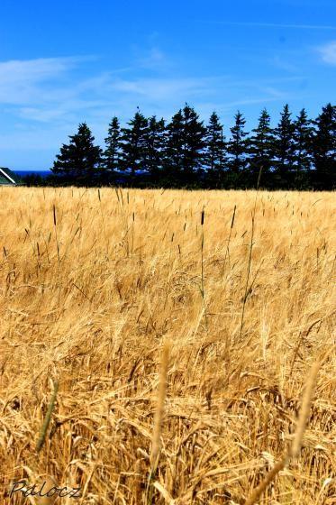 Wheat Field by apalocz