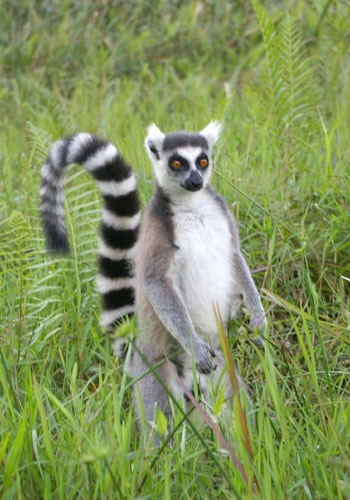 Ring Tailed Lemur Our Animal Kingdom Lemur Cute