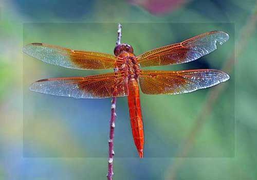 : Dragon Flies, Butterflies, Animal Spirit, Nature, Red Dragonfly, Moth, Dragonflies